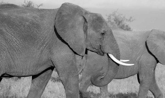Elephants-picture